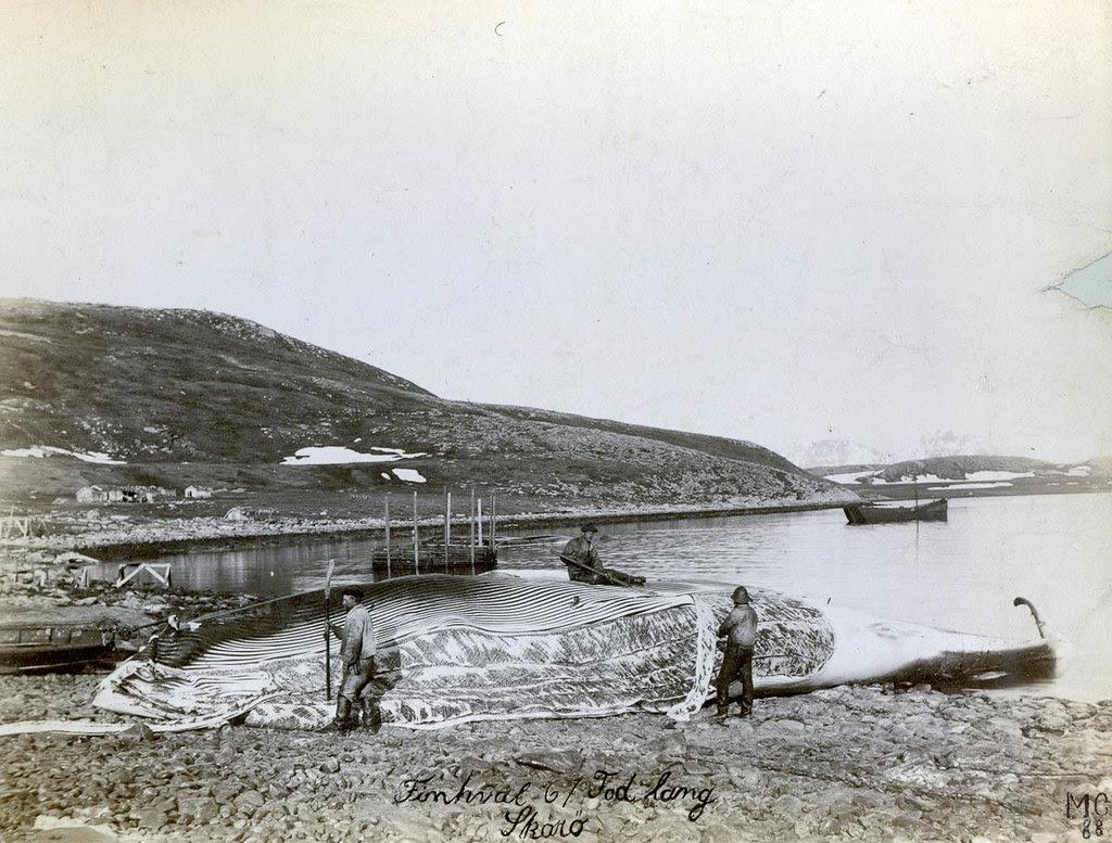 PEM-MGI-00025 Flensing av hval på Skorøya