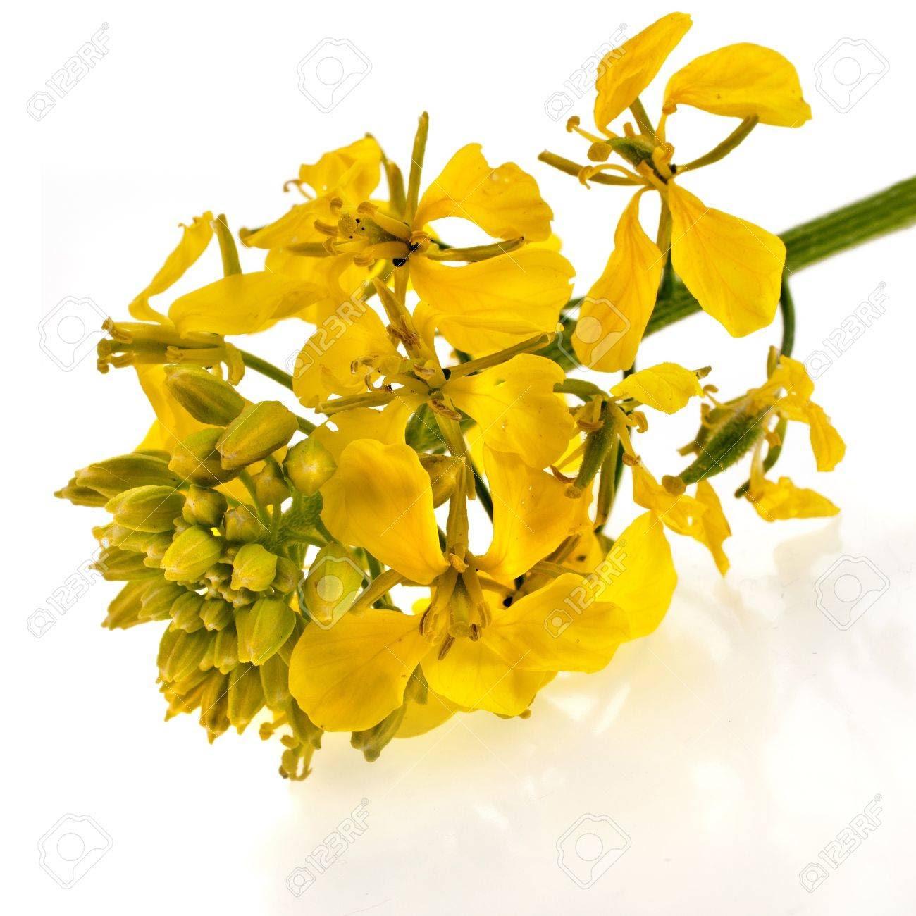 http://previews.123rf.com/images/madllen/madllen1308/madllen130800042/21365772-bl-hende-Senfpflanze-Nahaufnahme-isoliert-auf-wei-em-Hintergrund-Lizenzfreie-Bilder.jpg