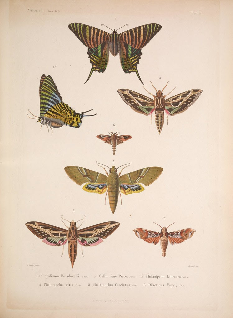 natural history illustration from  Cuba 1838-1857 d