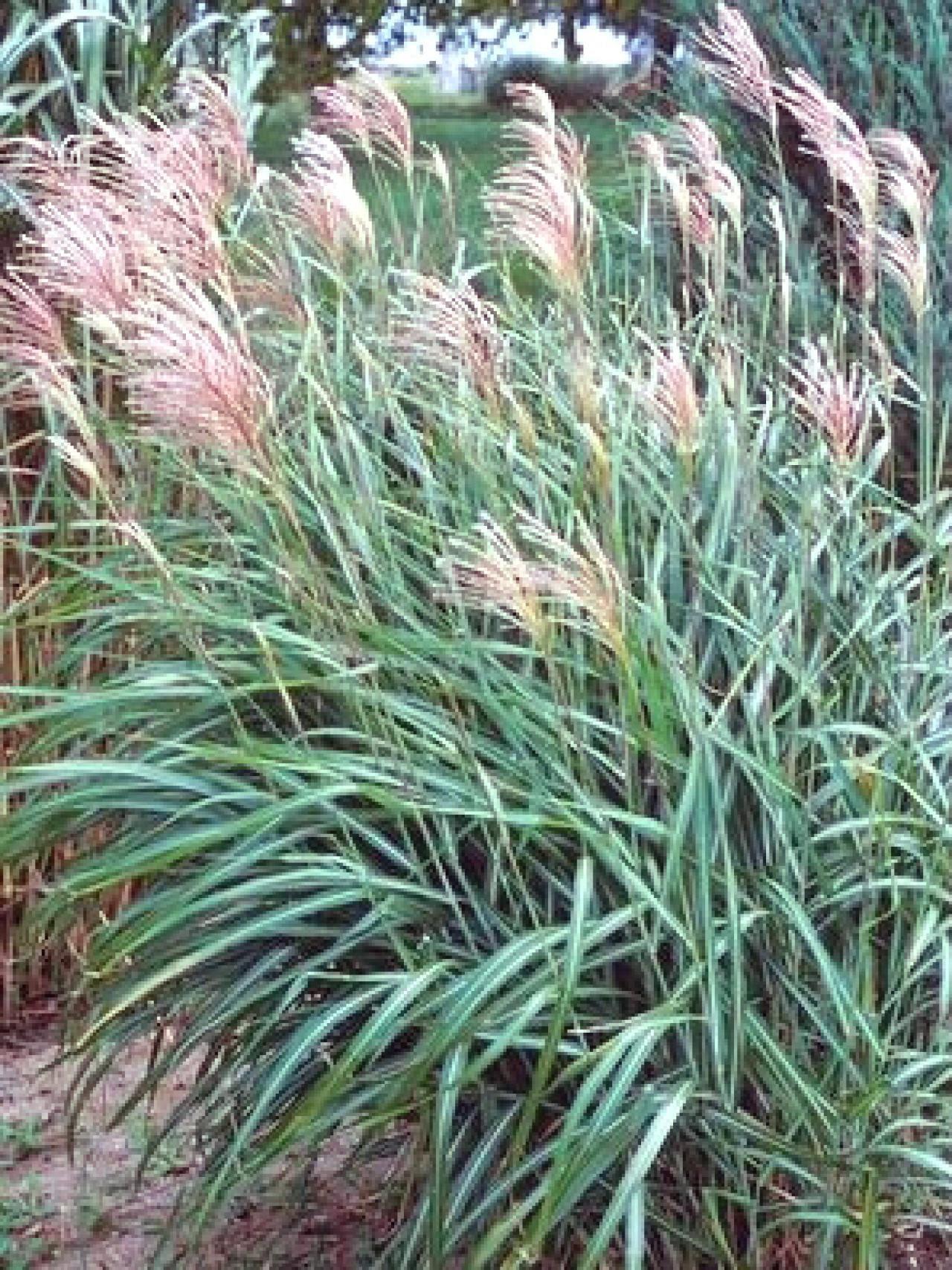 grass_huron blush_walters2