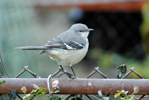 Northern Mockingbird (Mimus polyglottos)-39.jpg
