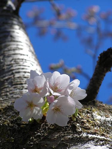 Primeras flores de Cerezo