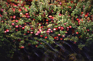 Cranberries, the state fruit of Wisconsin