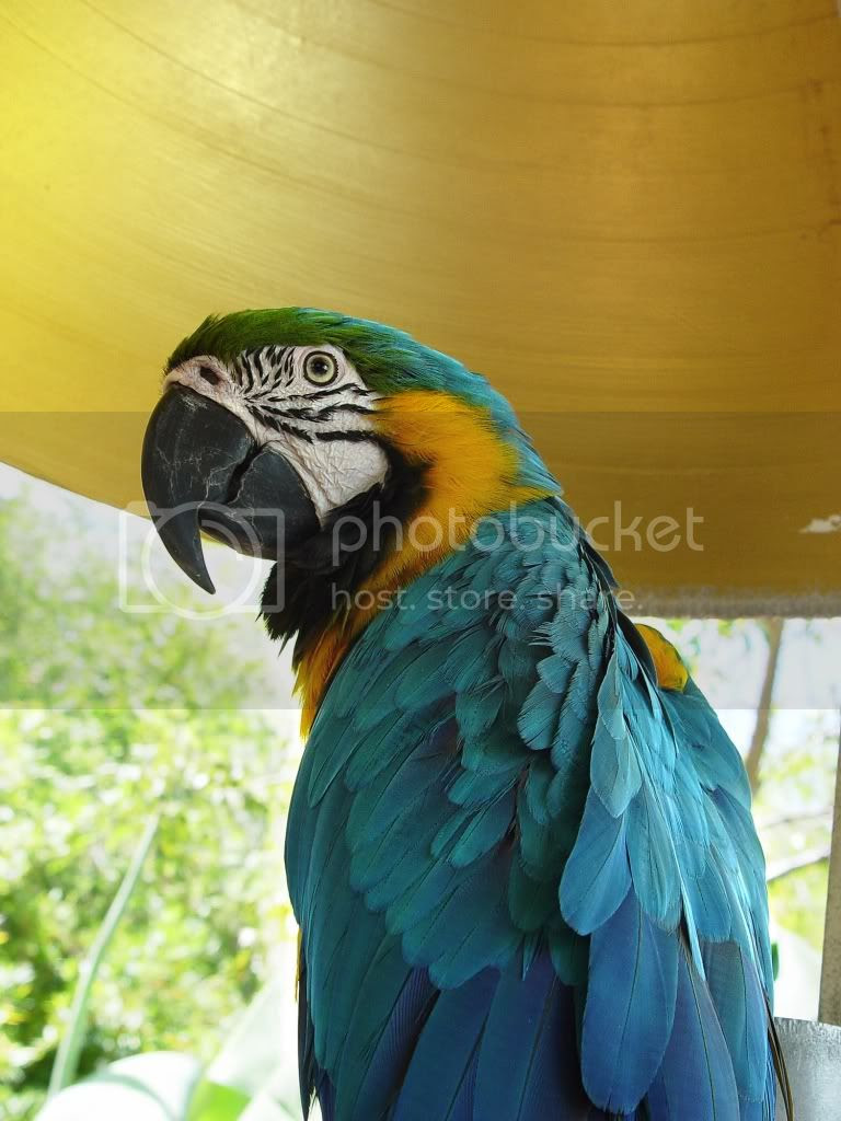 colorful parrots photo: See all the Colorful Birds 420-ParrotJunglePart21.jpg