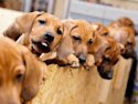 Dog in Germany gives birth to 17 puppies