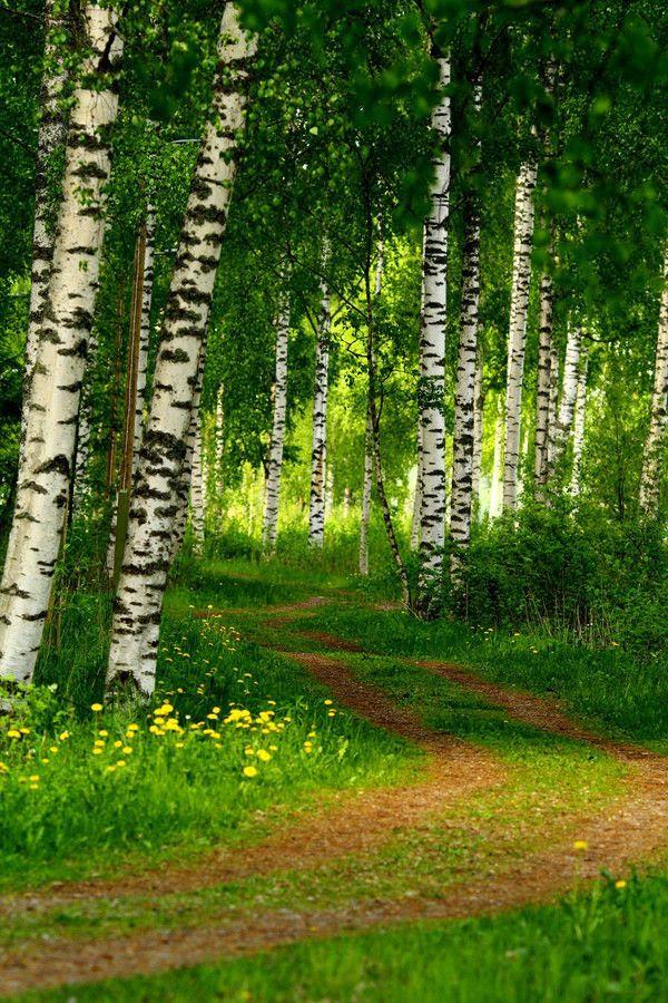 La betulla. L'albero nazionale della Finlandia. Non ne dovrò spiegare il perchè... che sogno!