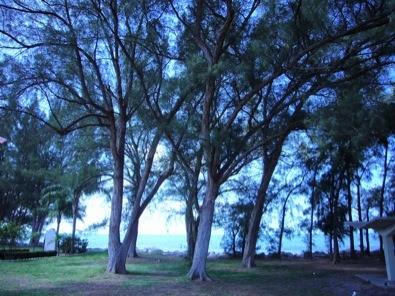 Image result for images pine trees australia