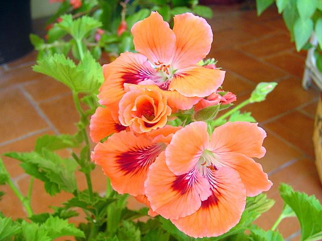 http://imagenes.infojardin.com/subidas/images/jdv1183066701b.JPG