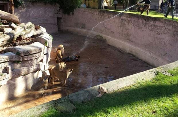 Homem foi atacado por leões ao descer em fosso onde ficam os animais em zoológico na Espanha (Foto: Reprodução/Twitter/ElAdrixMC_YT)
