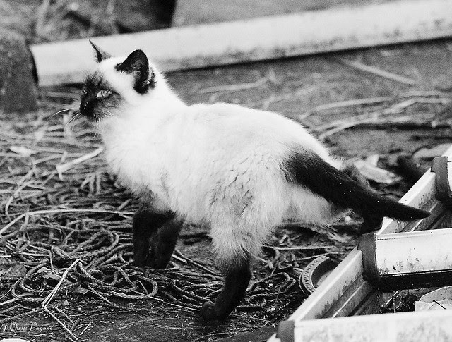 Siamese Feral in Black and White