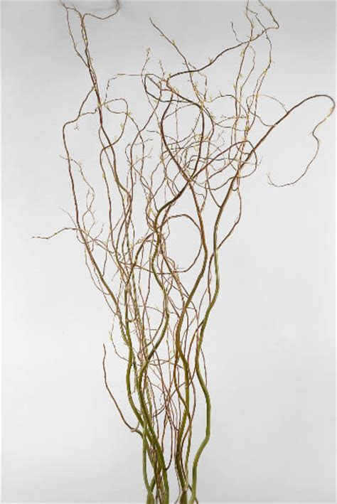 Natural Curly Willow Branches 26 30in (11 branches)