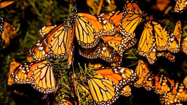 130717_d815m_monarques-papillons_sn635