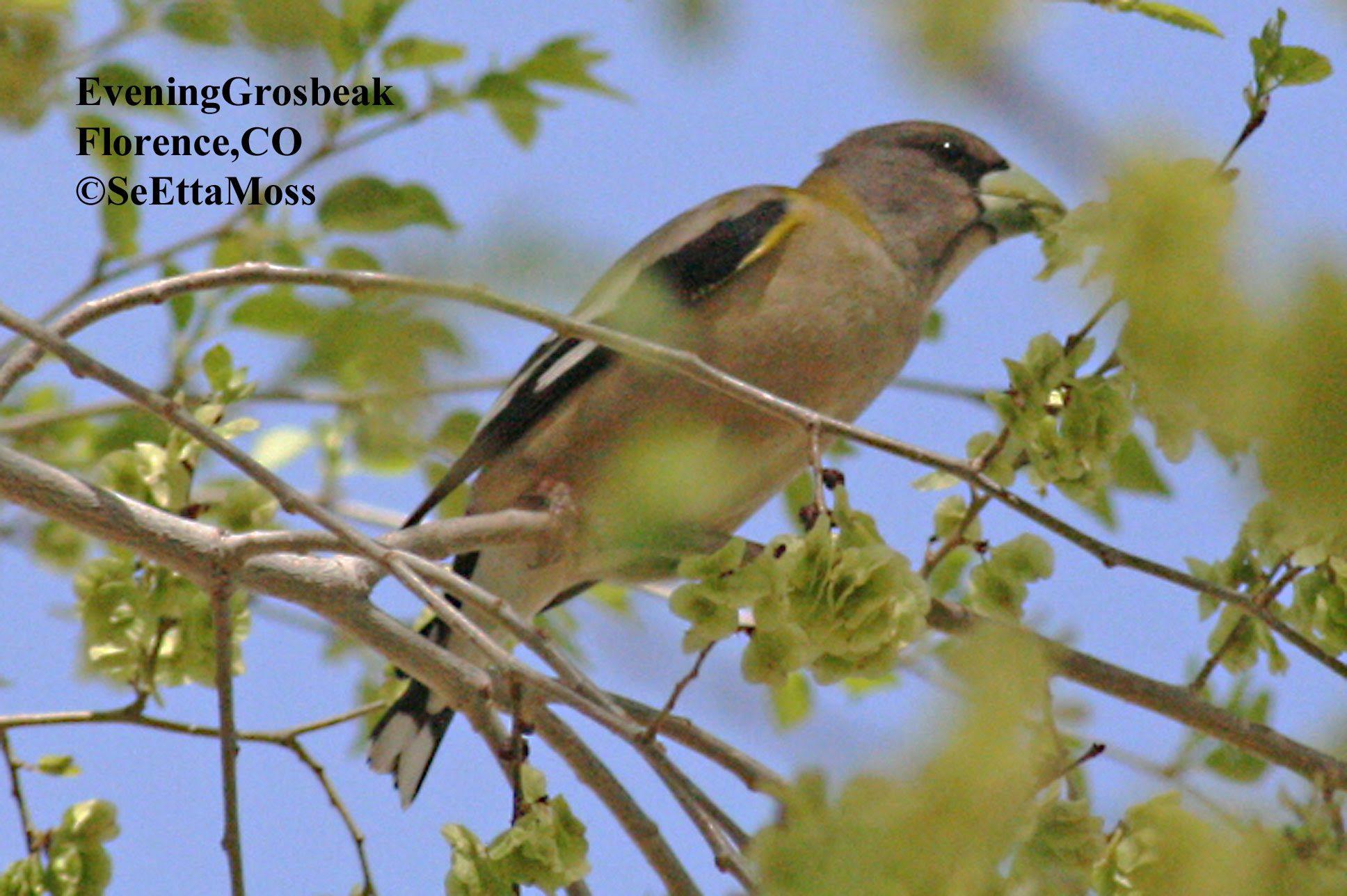 Feeder Birds Evening Grosbeak Birds And Blooms
