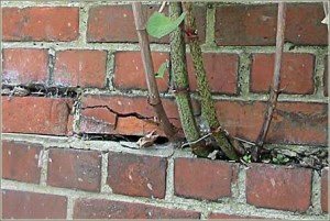 japanese knotweed brickwork