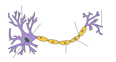 At one end of an elongated structure is a branching mass. At the centre of this mass is the nucleus and the branches are dendrites. A thick axon trails away from the mass, ending with further branching which are labeled as axon terminals. Along the axon are a number of protuberances labeled as myelin sheaths.