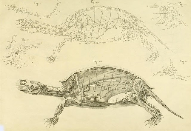 turtle cross-section drawing