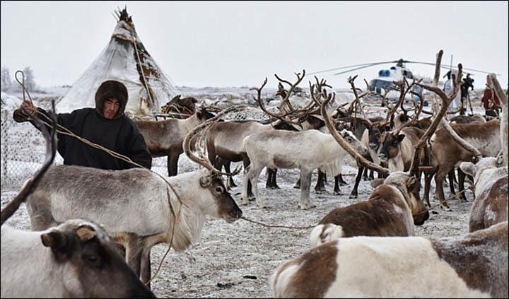manada de renos