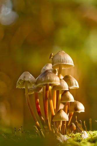 Clustered Bonnet Mushroom por wentloog