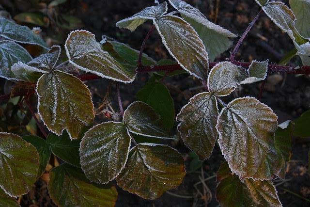 Frosted Raspberry leaves