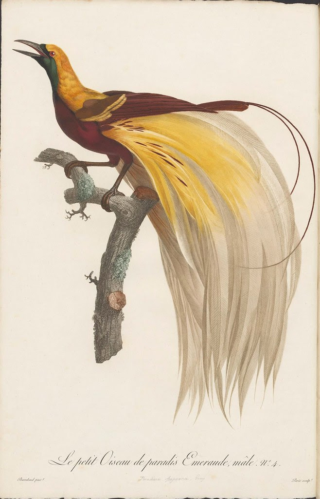Le petit Oiseau de paradis Emeraude, male no. 4