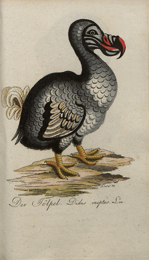 colour engraving of the extinct Dodo bird