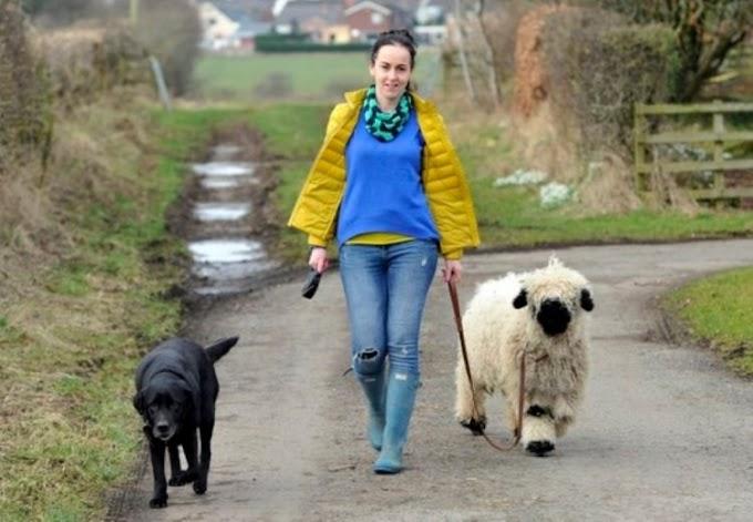 La oveja que adoptaron crece junto al perro y está segura de que es de la misma especie