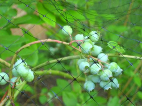 Blueberries Under Wraps
