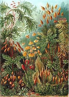 """""""Muscinae"""" d'Ernst Haeckel Artforms of Nature, 1904"""