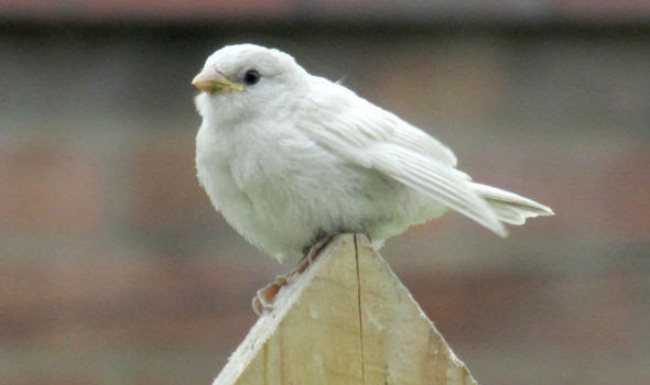 A white sparrow on a fence