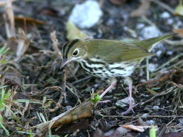 Ovenbird 3-20101003
