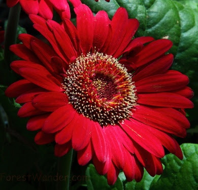 Large Red Daisy
