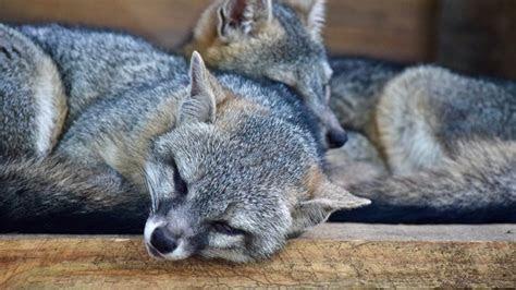 full hd wallpaper raccoon sleeping couple desktop