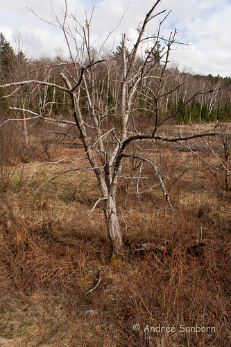 Dead apple tree in the bog (1 of 1).jpg