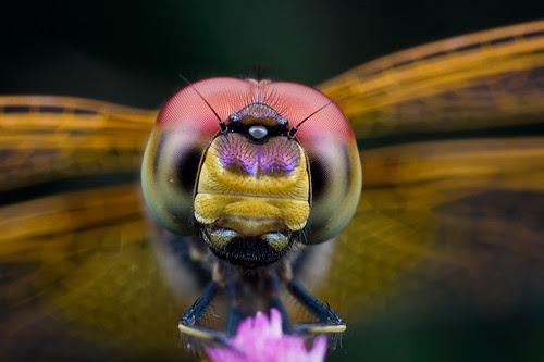 Dragonfly portrait...IMG_1477 copy