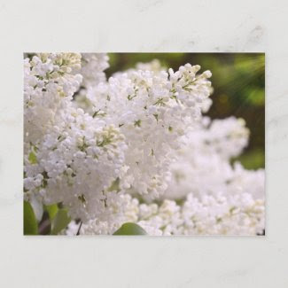 Pretty White Lilacs Photo Postcard
