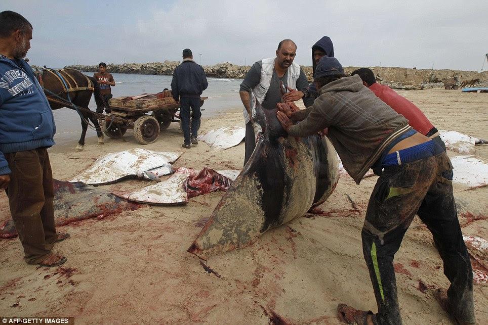 Αιματηρή σκηνή: Φτάνοντας μέχρι έκτακτη 23ft σε μήκος, είναι ένα από τα μεγαλύτερα ψάρια που ζουν και έχουν αναπτύξει σκελετούς από χόνδρο και όχι των οστών