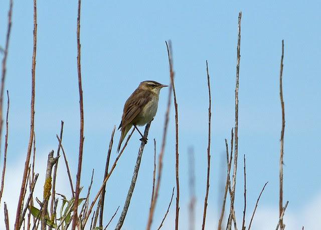 27464 - Sedge Warbler, Marloes Mere