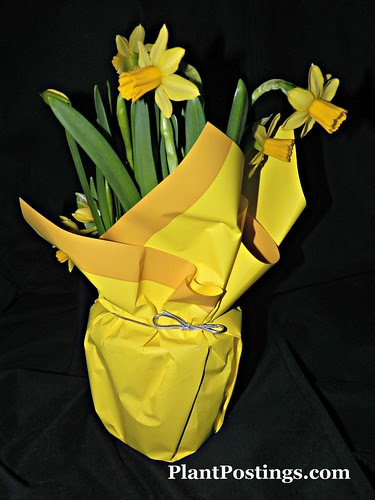 mini-daffs4