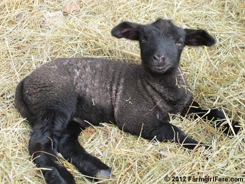 Close up lamb cute 2 - FarmgirlFare.com