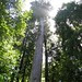 tall redwood