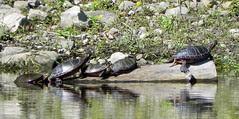 Parc de la Riviere-des-Mille-Îles, 11 September 11, turtles