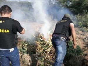 Plantação de maconha em Orocó, no Sertão de Pernambuco (Foto: Divulgação / Polícia Civil de Cabrobó)