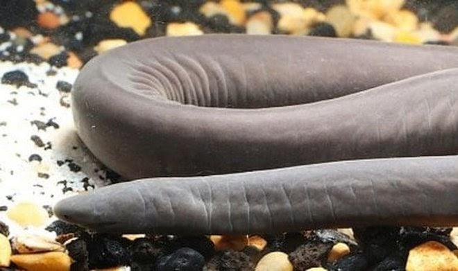 В США впервые обнаружили причудливое земноводное – широкоголовую червягу