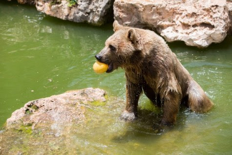 Bear in the Water