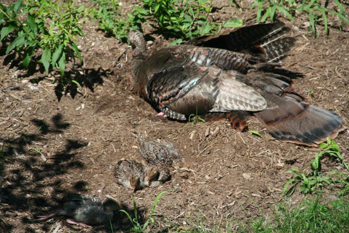 Resting Turkeys