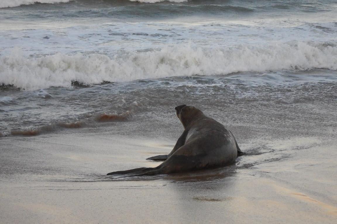 O elefante-marinho Fred em direção ao mar. Foto: Instituto Baleia Jubarte