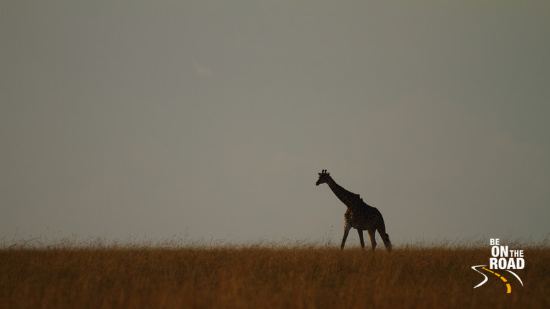 The Maasai Giraffe is possibly the only animal that can be seen clearly from a long distance; such is its gigantic height