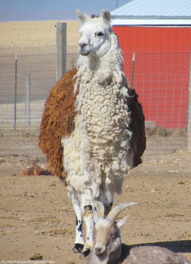 FARM tall Llama