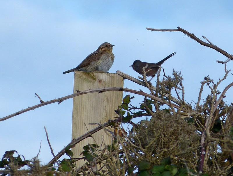 Dartford Warbler and Wryneck, near Strumble Head