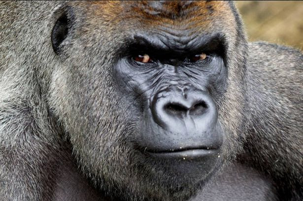 Harry, the Western lowland gorilla at Dublin Zoo dies after short illness